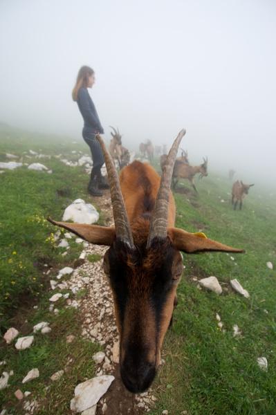 Im Nebel hielten mich die Ziegen wohl für den Leitbock, die ganze Herde folgte uns