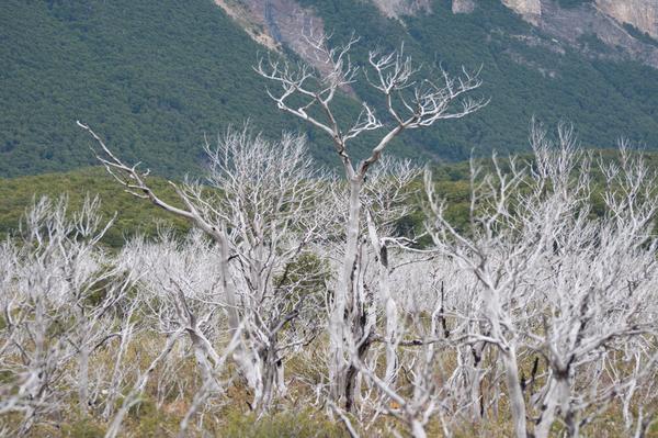 Verdorrter Wald