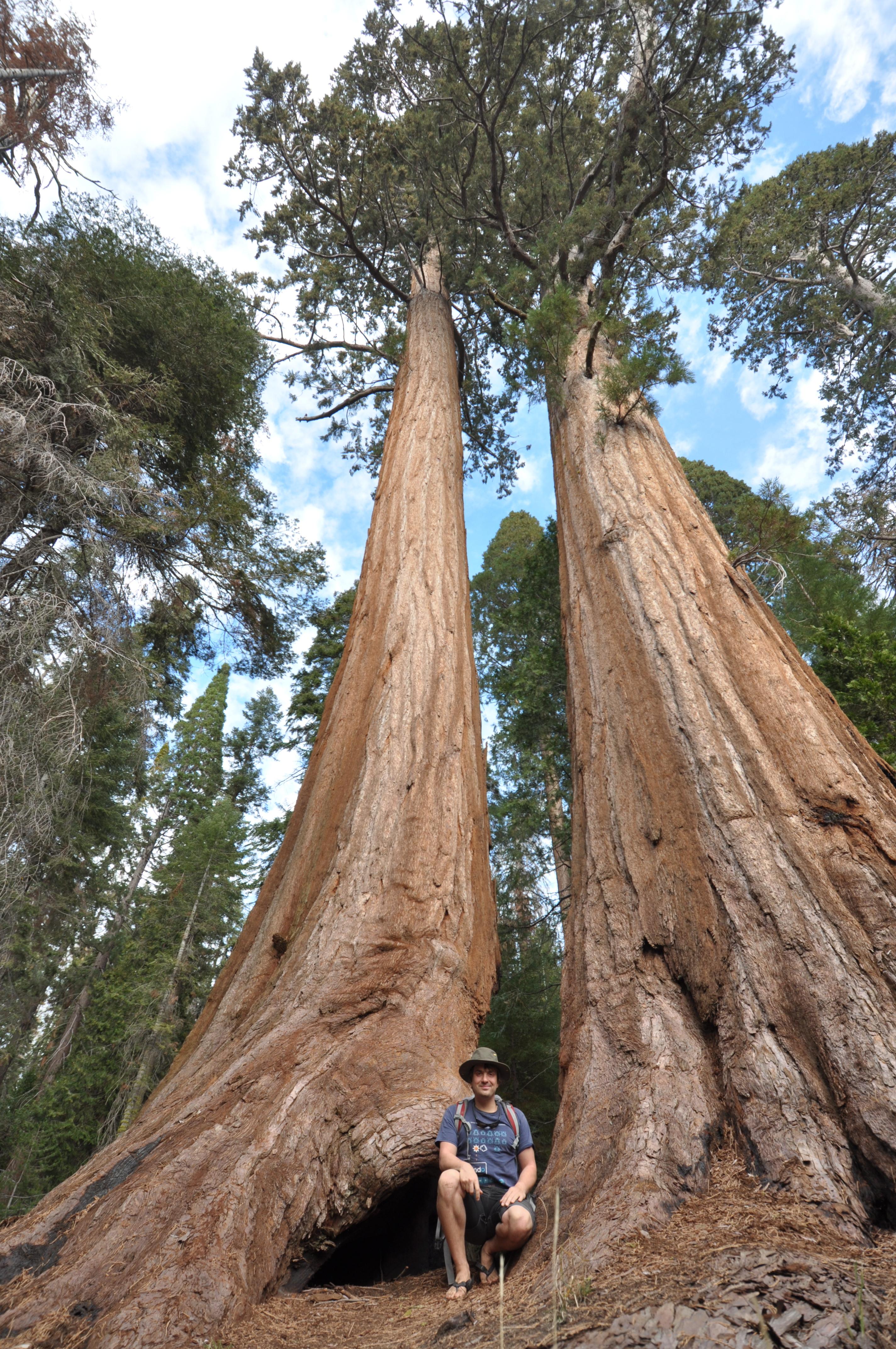 Sequoias auf dem Weg zum Sunset Point