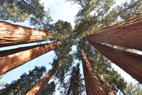 Sequoia-Baumkronen