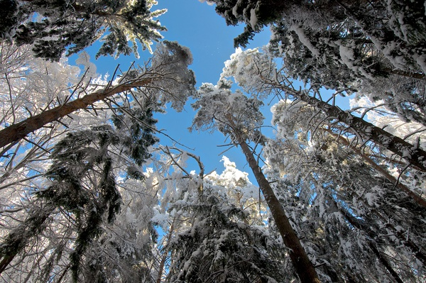 Bäume voller Schnee